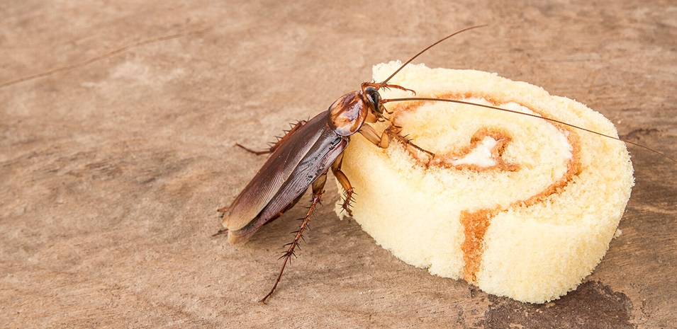 What-Do-Cockroaches-Eat-1__2X